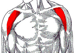 anterior deltoid
