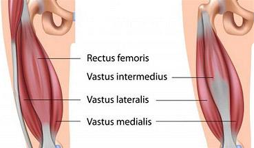 quadricep muscles