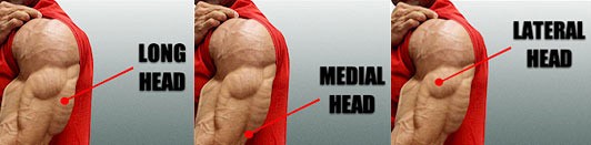 average muscle gain with steroids