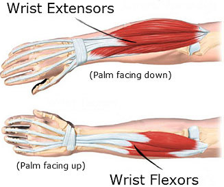 wrist flexors and extensors