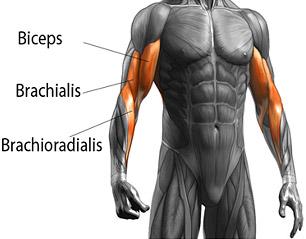 brachioradialis anatomy