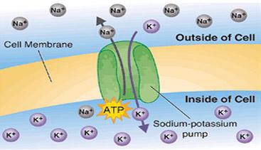 water retention sodium potassium